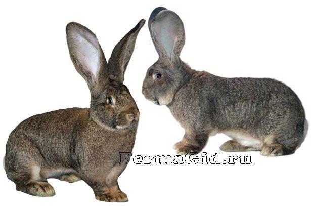 Два кролика породи Різен