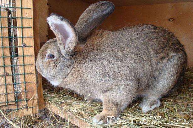 Німецький кролик велетень (Різен) в клітці