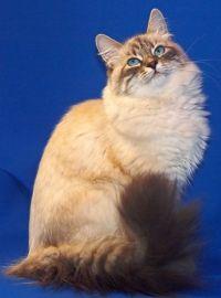 фото невської маскарадною кішки