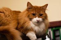порода кішок норвезька