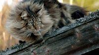 норвезька кішка порода