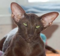 орієнтальна кішка відгуки