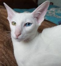 кіт орієнтальної породи