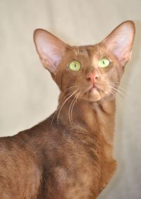 орієнтальна кішка опис породи