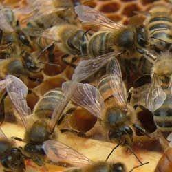 Опис бджіл породи бакфаст, їх характеристики, достоїнства і недоліки