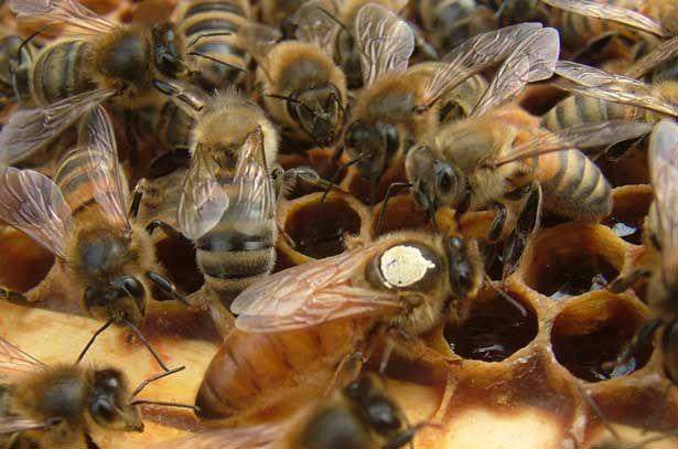 Робочі бджоли породи Бакфаст навколо матки