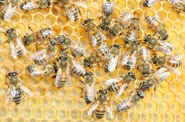 Бджоли Бакфаст на сотах