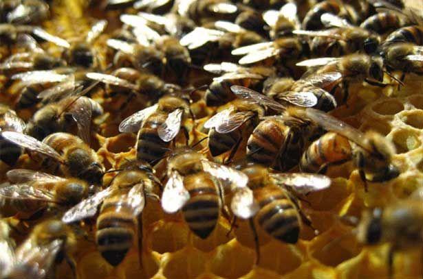 Бджоли Бакфаст в роботі