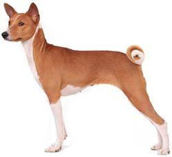 Опис породи собак басенджи, поради по утриманню та вихованню.