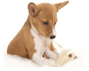 красивий щеня басенджи