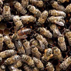Сірі гірські кавказькі бджоли