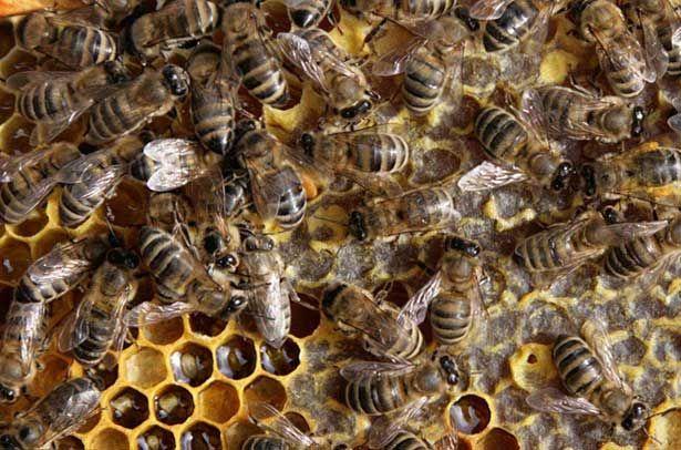 Сірі гірські каказскіе бджоли на стільниках