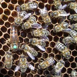 Бджоли Української Степовий породи