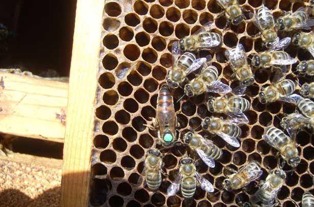 Матка і робочі бджоли Української ступінь породи