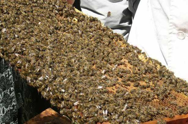 Бджоли Української степової породи