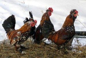 Кури породи Алтайська бентамки