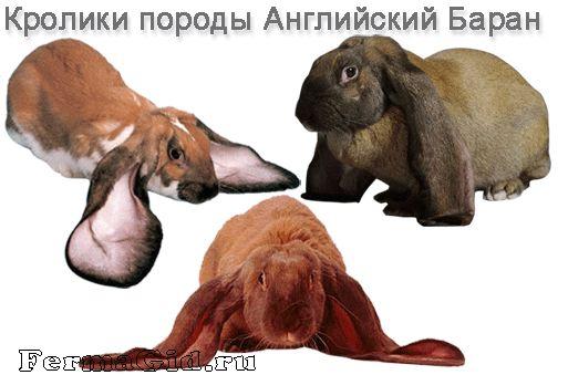 кролики породи Баран