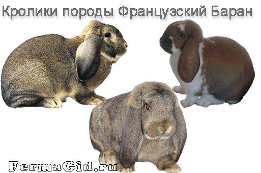 Кролики породи Французький Баран