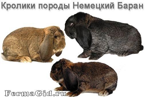 Кролики породи Німецький Баран