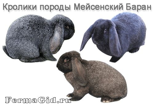 Кролики породи Мейсенський Баран