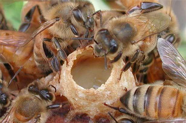 Личинка бджолиної матки в маткової мисочці і маточне молочко