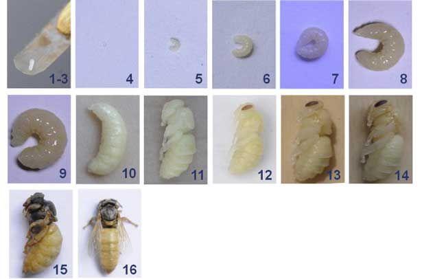 Розвиток бджолиної матки по днях від яйця до вийшла з маточника особини