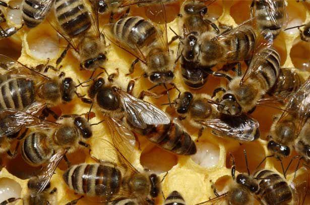 Бджоломатка в оточенні робочих бджіл