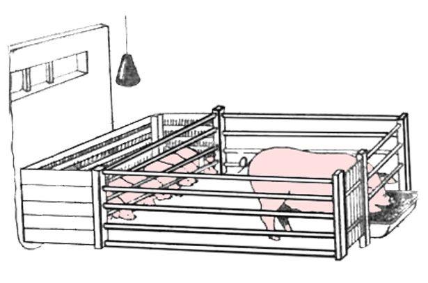 Зміст свиноматки під час опоросу і після