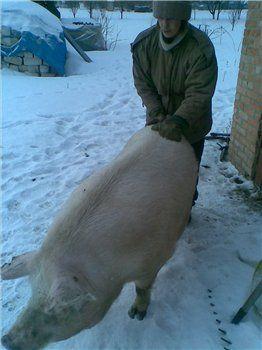 свиноматка на прогулянці за місяць до опоросу