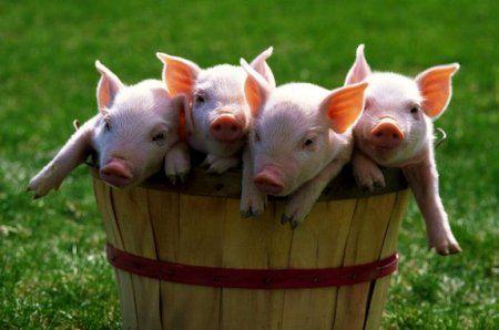 Опорос у білих свиней