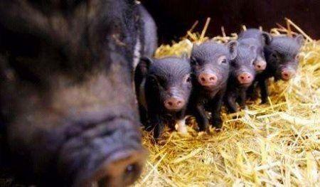 Опорос в`єтнамських свиней