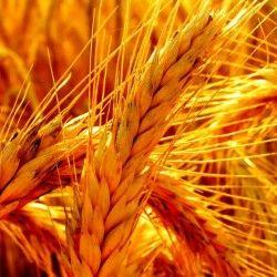 Визначення фази дозрівання хлібних злаків
