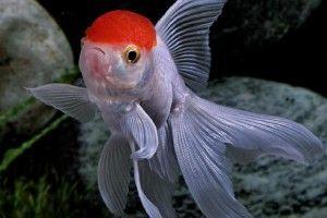 Оранда - рибка червона шапочка