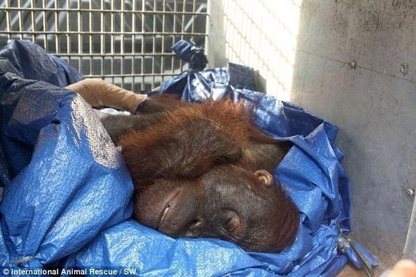 Орангутан не хотів вмирати і навіть намагався відгризти собі пальці, щоб вибратися з пастки