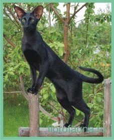 Орієнтал, або орієнтальна кішка