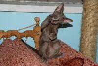купити кошеня орієнтальної породи