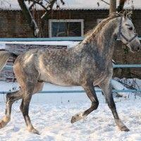 Орловська рисистих порода коней