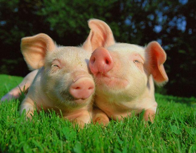 запліднення свиней