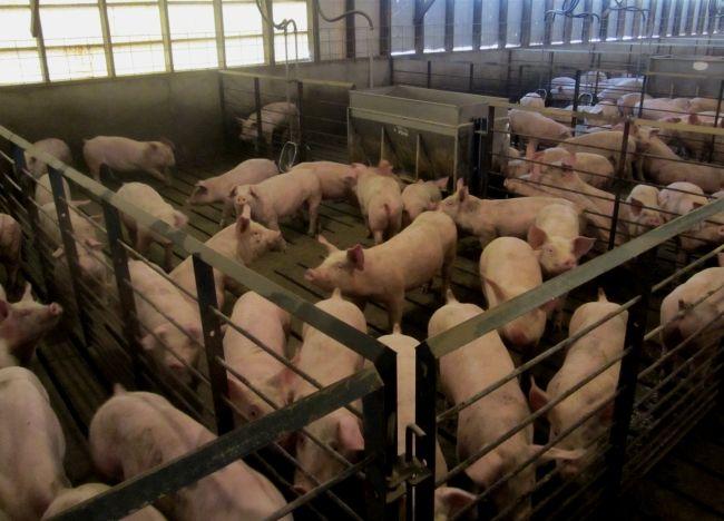 Полювання у свиней: ознаки полювання