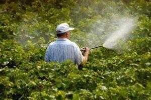 Обробляє виноград восени