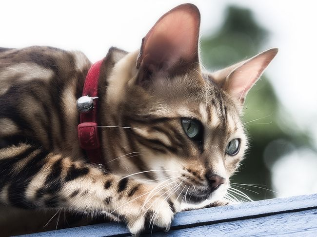 Нашийник від бліх та кліщів для кішок