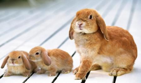 Основні хвороби кроликів і заходи боротьби з ними