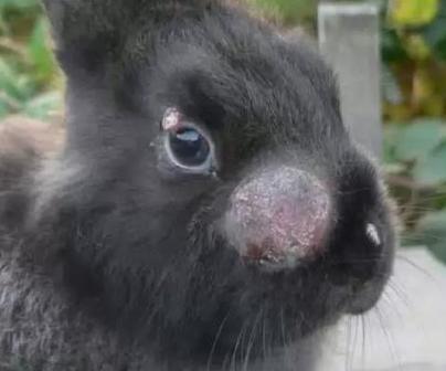 Геморагічна хвороба кролів