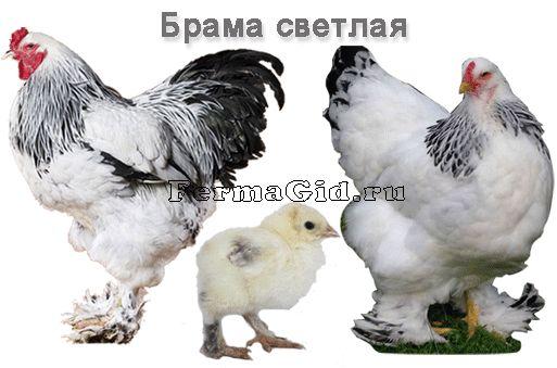 Брама світла представники породи: курка, півень, курча