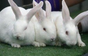 Beautiful-White-New-Zealand-Rabbits-Wallpapers-300x191-300x191