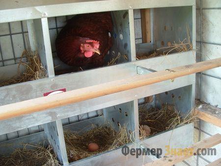 Курка в гнізді несе яйця