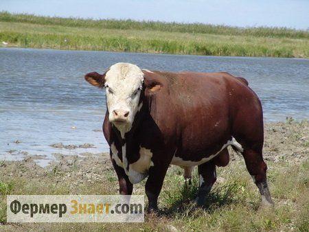 Бик породи казахська білоголова