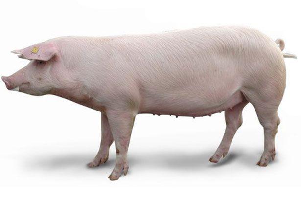 Дві свині породи ландрас