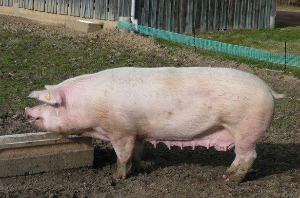 Свиня породи Ландрас їсть з годівниці