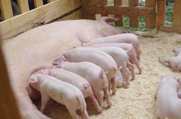 Свиноматка породи Ландрас годує поросят